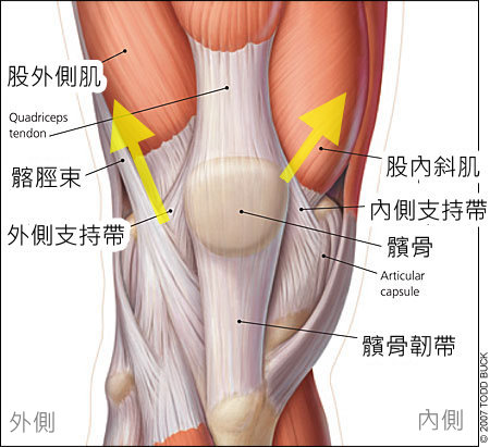 patella_muscle