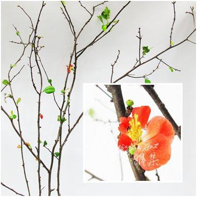 木瓜花(春).jpg