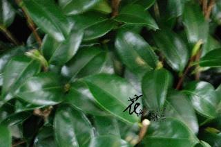 山茶花葉  (常年)