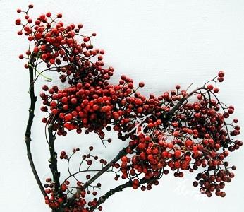 山桐子(冬).jpg
