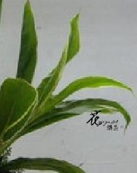 白竹  (常年)