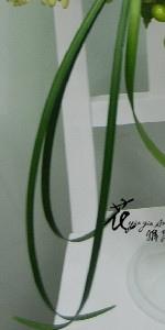 春蘭葉  (常年)
