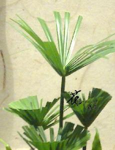 傘草  (常年)