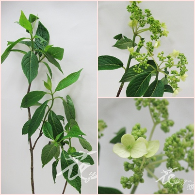 白蝴蝶(華八仙)(春)