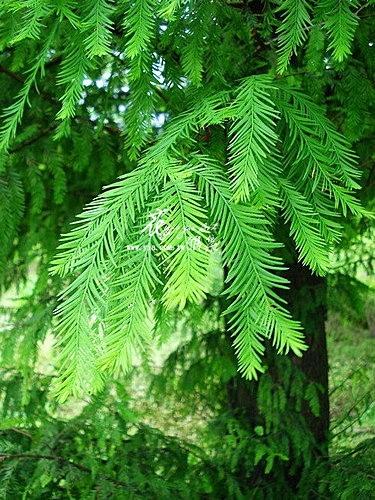 水杉(落羽杉)1.jpg