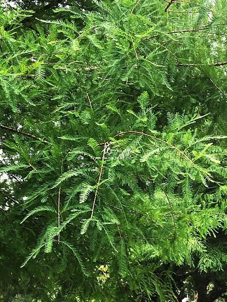 水杉(落羽杉)4.jpg
