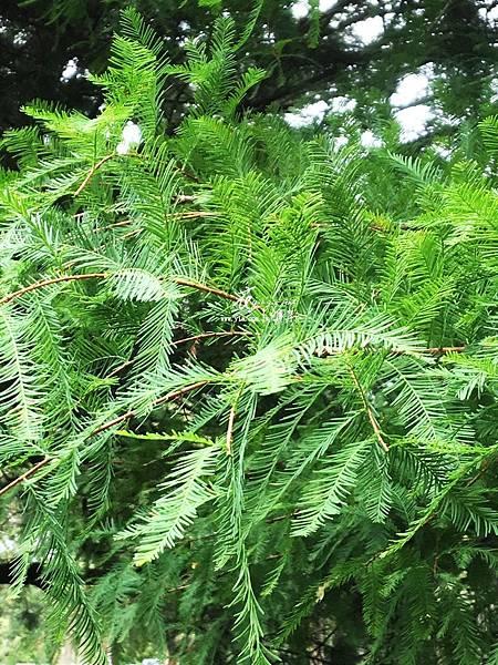 水杉(落羽杉)3.jpg