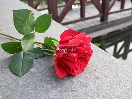 ‖英國田園玫瑰‖ 碩大的花朵 層層绽放的花瓣 嬌豔欲滴的色彩 給你奢華的視覺享受 -------------------------- 延伸美學: www