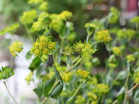 ‖金翠花‖ 柔美的身姿, 優雅的舒展, 點點金色的小花, 綴於绿色的寶石之上, 雖為配花,卻常引起人們注目的焦點。 ------------------------