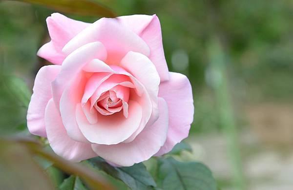 士林官邸玫瑰花圃盛開中