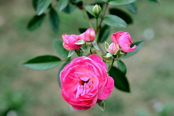 擁有罕見品種又令人驚艷的台北新生公園玫瑰園