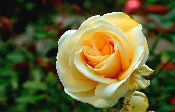 如寶石般耀眼的玫瑰