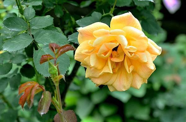 如寶石般耀眼的玫瑰(三)