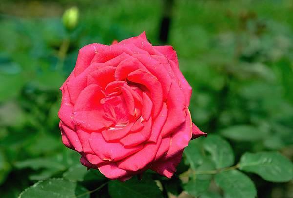 如寶石般耀眼的玫瑰(四)