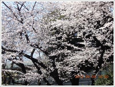 櫻花7DSCN6109