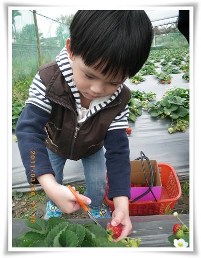 草莓24IMGP2310.JPG