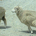 Sheep-Blog.png