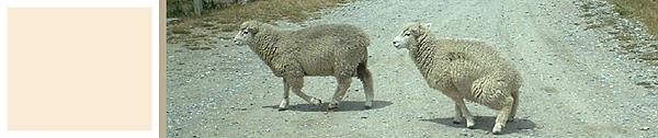Sheep-Blog-2.png