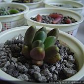Pachyphytum Bracteasum_0609.JPG