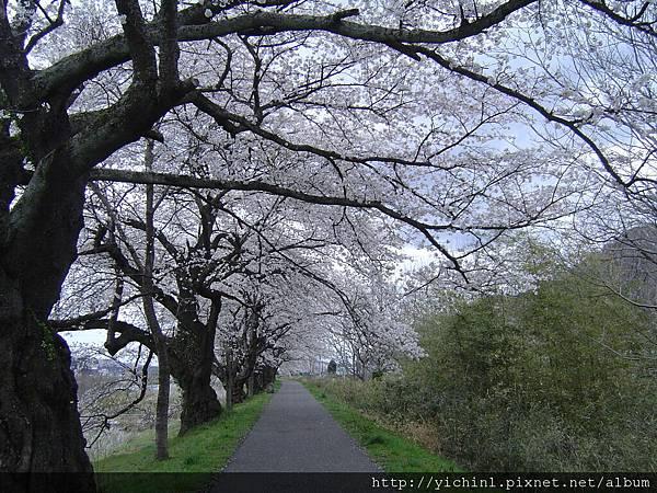 櫻花樹猖狂地伸展著,小道上儼然有了櫻花天棚