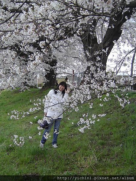 臨時決定賞櫻,沒打扮就出門,清湯掛麵的,跟浪漫的櫻花真不搭