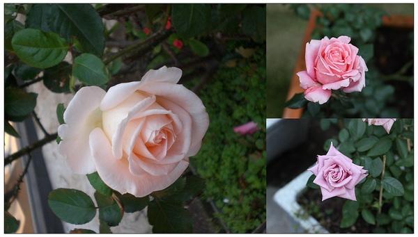 已修改玫瑰園-all 2.jpg