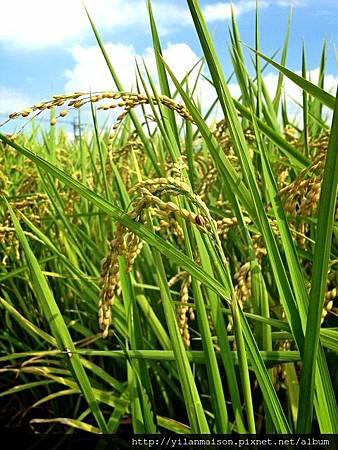 20130624柯林稻田1
