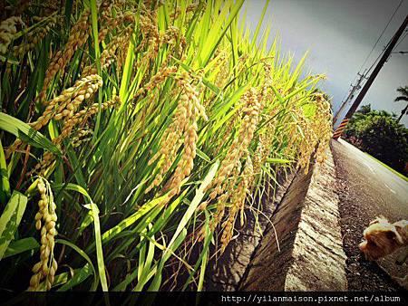 20130624柯林稻田2
