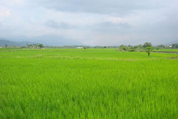 美麗的稻田中的一棵木瓜樹