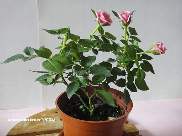 玫瑰02.JPG