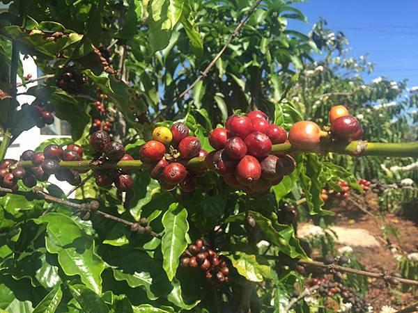 來越南怎麼可以不來咖啡園喝咖逼呢?