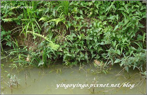 南投魚池_森林紅茶_980425_02599.jpg