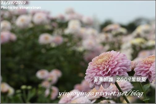 苗栗銅鑼_2009賞杭菊_981115_005.jpg