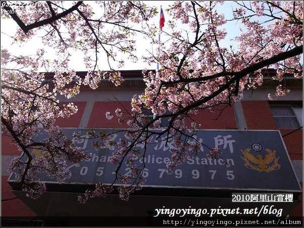 嘉義阿里山_阿里山賞櫻之遊990321_R0010571.jpg