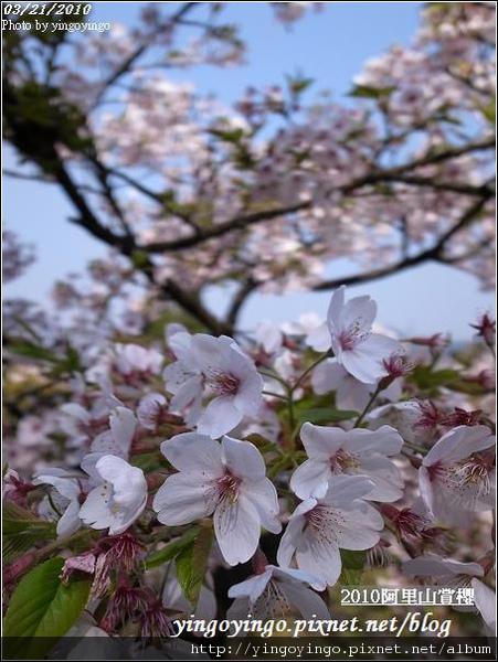 嘉義阿里山_阿里山賞櫻之遊990321_R0010609.jpg