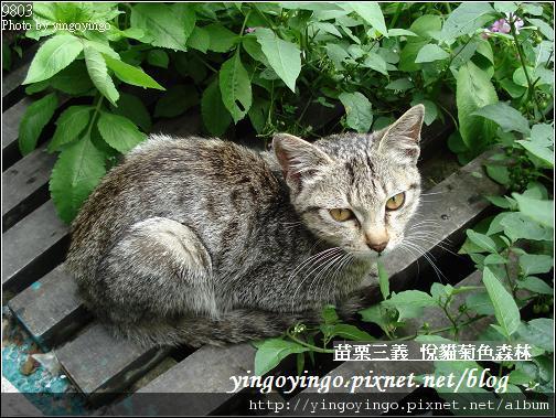 苗栗三義_悅貓菊色森林9903_D01497.jpg