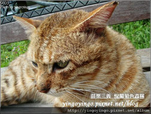 苗栗三義_悅貓菊色森林9903_D01505.jpg