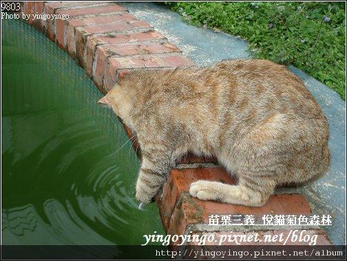 苗栗三義_悅貓菊色森林9903_D01511.jpg