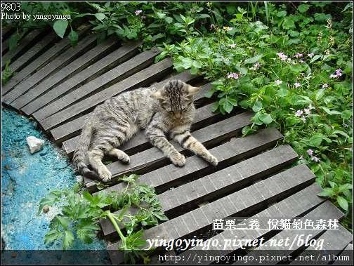 苗栗三義_悅貓菊色森林9903_D01512.jpg