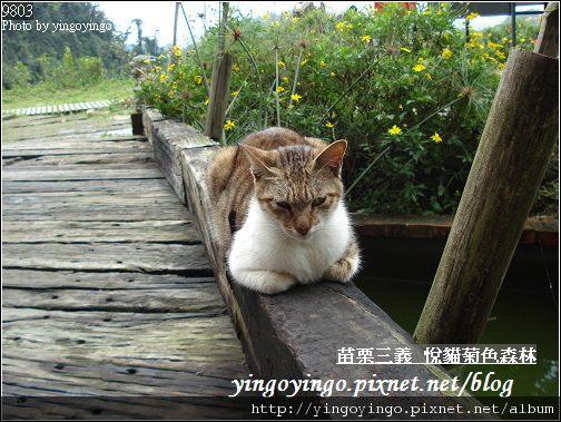 苗栗三義_悅貓菊色森林9903_D01528.jpg
