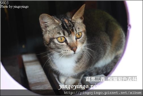 苗栗三義_悅貓菊色森林9903_I5211.jpg