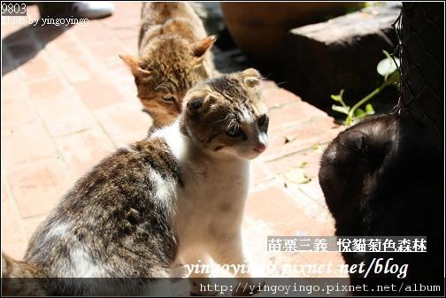 苗栗三義_悅貓菊色森林9903_I5197.jpg