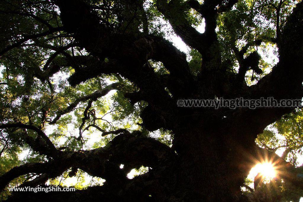 YTS_YTS_20181006_台中太平百年大樟樹Taichung Taiping Century-old Camphor Tree040_3A5A4017.jpg