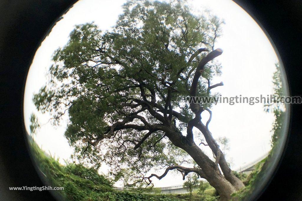 YTS_YTS_20181125_苗栗頭份雞心壩百年老樟樹Miaoli Toufen Camphor Tree/Giant Tree016_IMG_0456.jpg