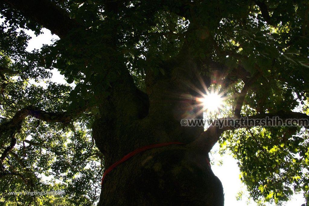 YTS_YTS_20191116_南投國姓寶島神木/看見台灣/茄苳神木/糯米橋休閒農業區Nantou Guoxing Jiadong Giant Tree032_539A4229.jpg