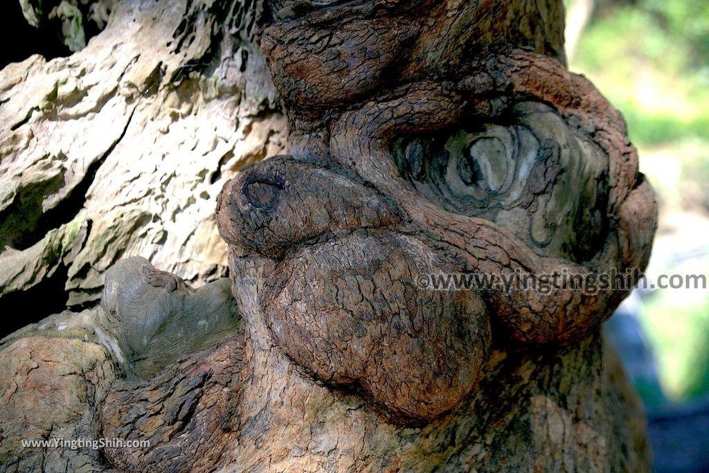 YTS_YTS_20191116_南投國姓寶島神木/看見台灣/茄苳神木/糯米橋休閒農業區Nantou Guoxing Jiadong Giant Tree036_539A4222.jpg