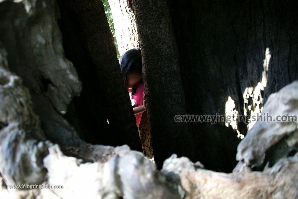 YTS_YTS_20191116_南投國姓寶島神木/看見台灣/茄苳神木/糯米橋休閒農業區Nantou Guoxing Jiadong Giant Tree038_539A4218.jpg