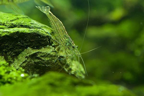 大和藻蝦.jpg