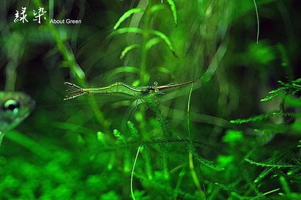 紅戟蝦-2.jpg
