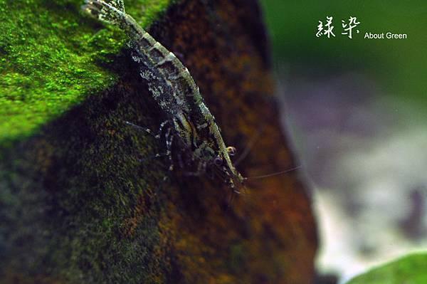 黑殼蝦.jpg